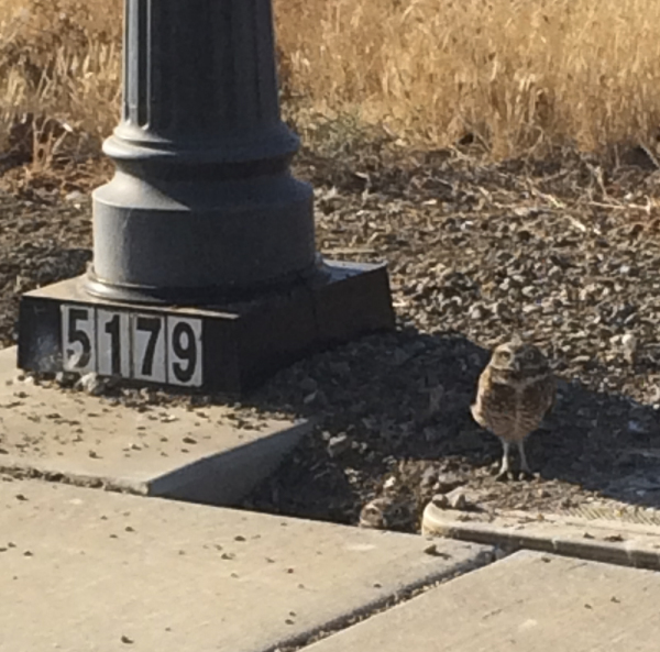 Sweet Little Burrowing Owls